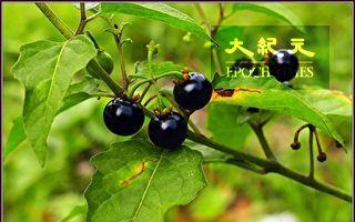 【无鱼坊的摄影心视界】微酸甜好野菜的龙葵
