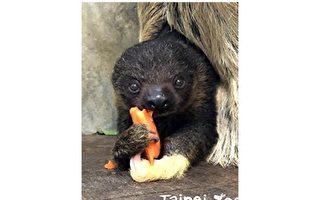 【療癒系Funny Zoo】看我的黃金左手 樹獺家族「葉紫」