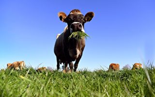 中國需求旺盛 南吉普斯蘭乳品業蓬勃發展