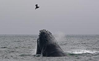 罕見畫面:座頭鯨吹出網狀氣泡 以捕捉獵物