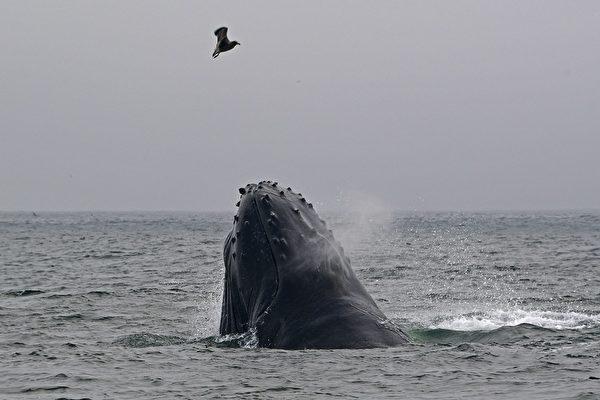罕见画面:座头鲸吹出网状气泡 以捕捉猎物
