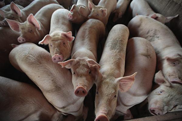 中共官媒稱,有「炒豬團」向其他人飼養的豬群投放非洲豬瘟病毒,藉此牟取暴利。有分析認為,這是中共在推卸責任。 (Scott Olson/Getty Images)