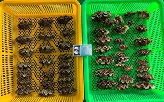 綠島復育100顆硨磲貝 50顆遭盜採