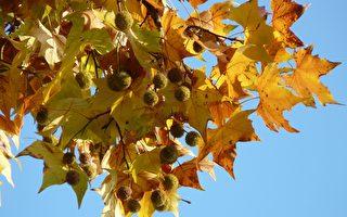 增加城市綠化多樣性 墨爾本市中心大舉換樹