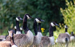吃了麵包 野鴨和野鵝就不能飛了