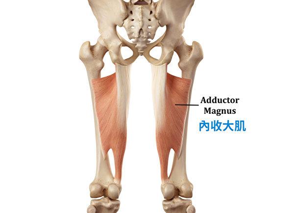 內收大肌被證明有助於髖部伸展。(采實文化提供)