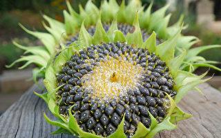 不只瓜子 向日葵一身是宝 降血压止痛9种妙用