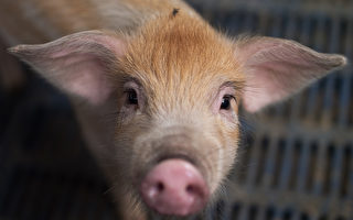 以活猪做致命撞击测试 中共科学家遭抗议