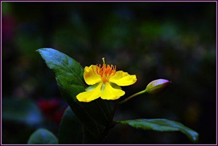 金蓮花開添美景,桂葉翠綠好身形。