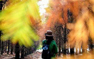 組圖:落羽松好美! 台灣攝影師推薦3處祕境