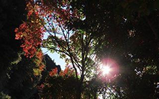 组图:台阿里山见枫红 摄影师分享自然美景