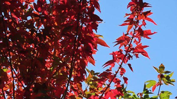 組圖:台阿里山見楓紅 攝影師分享自然美景