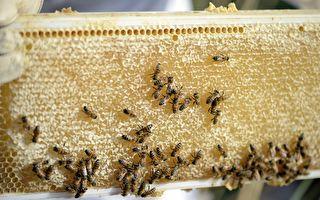 乾旱導致澳蜂蜜產量銳減 近期價格或漲10%