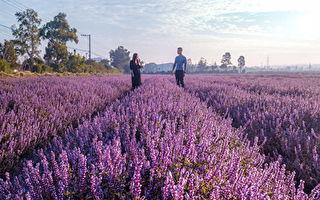 桃園仙草花節紫在楊梅  平鎮展區沒有仙草花