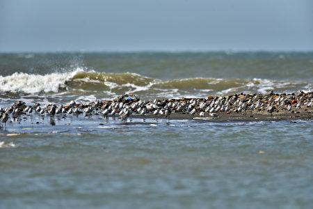 客雅溪口一大群鷸鴴科水鳥停棲