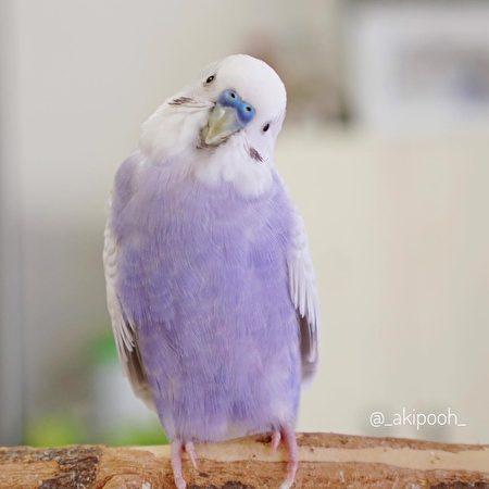 彷彿「芋香鮮奶」的羽毛,十分吸睛。