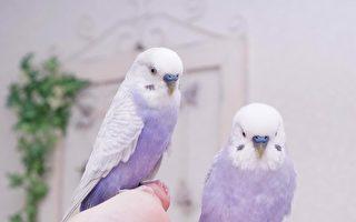 像「芋香鮮奶」紫白色鸚鵡仙氣療癒人心