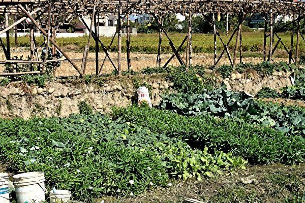一户农家摘采自家菜园种的蔬菜,食用后陆续出现不同程度的农药中毒等症状。 (邓玫玲/大纪元)