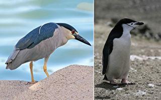 企鵝群中出現「假企鵝」聰明夜鷺天天混飯吃