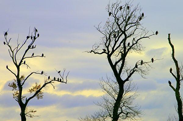 哈里森河的三文鱼洄游,吸引了成千上万的白头鹰,成为世界之最。每年的10月下旬至1月初,Sandpiper Resort度假村,便成了得天独厚的看鹰地点。(哈里森温泉提供)