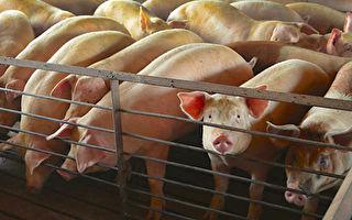 美豬出口量飆升 農業部擬了解中方購買數據