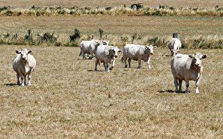 天價水「渴死」北維州 奶農痛失牛群