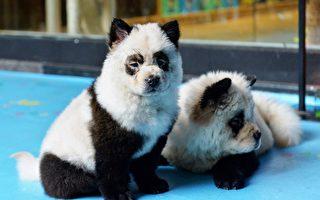 四川宠物咖啡馆将小狗染成熊猫 网民炮轰