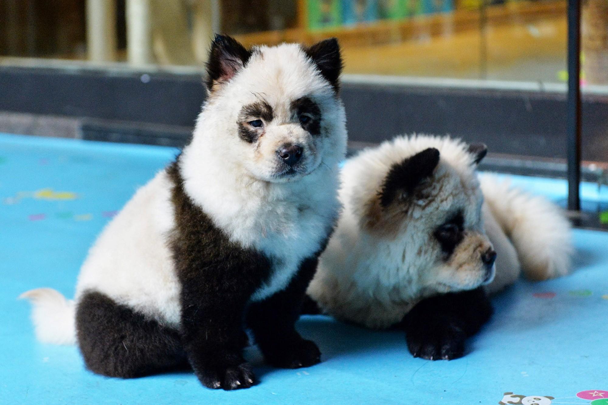 四川成都的「糖果星球」咖啡館將小狗染成熊貓。此圖攝於2019年10月23日。(STR/AFP via Getty Images)