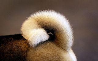真稀奇! 這隻美國小狗的額頭上長尾巴