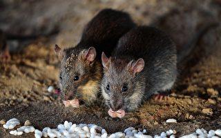 鼠疫爆發地內蒙錫林郭勒 八九月已老鼠成災