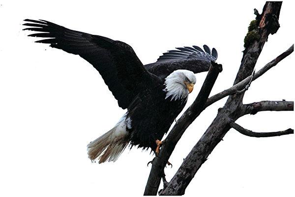哈里森河的三文鱼洄游,吸引了成千上万的白头鹰,成为世界之最。每年的10月下旬至1月初,Sandpiper Resort度假村,便成了得天独厚的看鹰地点。(Danny Chan提供)
