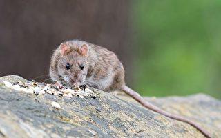 墨市商场鼠患影响生意 商家指责管理者治鼠无方