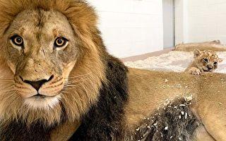 小獅兒子太萌 威嚴獅王搖身一變「暖爸」