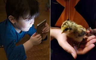 印尼推「養小雞計畫」希望小朋友放下手機養小雞