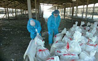 """彰县""""姜母鸭""""可能要涨价了  芳苑乡1处肉鸭场确诊染禽流感"""
