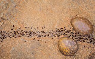 研究揭示蚂蚁为何不会交通阻塞