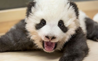 你見過熊貓幼崽打嗝嗎? 超有趣的
