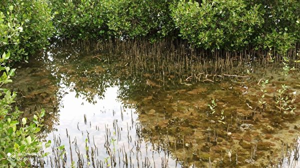 組圖:台灣水母湖 宛若寶石花水母現身
