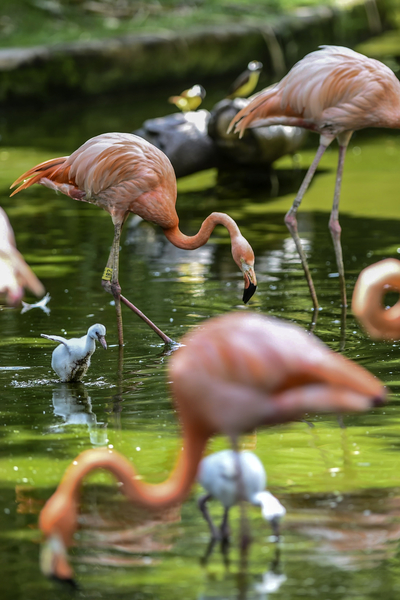 COLOMBIA-ANIMAL-FLAMINGOS