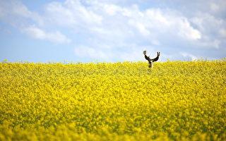 加拿大油菜籽售罄 價格飆升