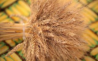 粮荒?中国大幅增购小麦 7年来最多