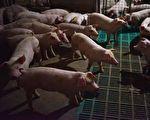 四川寧南現非洲豬瘟 14頭豬發病7隻死亡