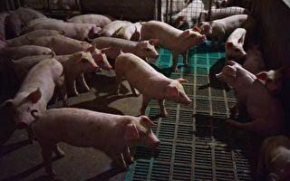 中共肺炎没退烧 大陆非洲猪瘟疫情再度爆发