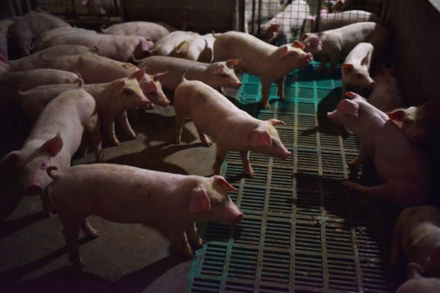 大陸去年豬肉產量16年最低 漲價42.5%