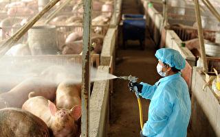 日本冲绳猪瘟疫情蔓延 将再扑杀2809猪只