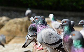 神鴿守金庫 官員殺鴿毀巢遭報應