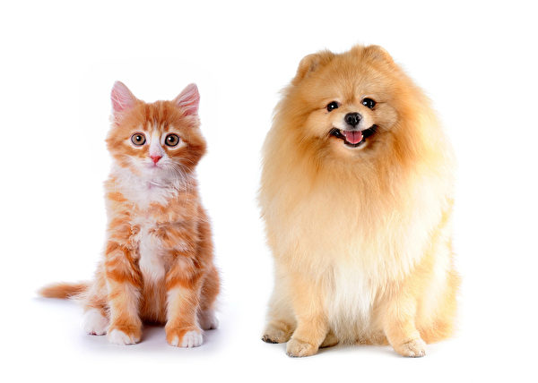 Cat and dog red color sitting isolated on white background Fotolia