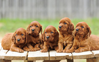 Five red setter puppies lie on wooden table, outdoors, horizontal (Fotolia)