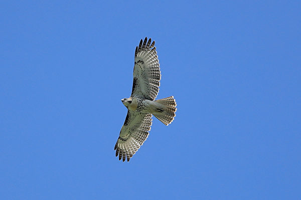 老鷹闖入雞舍想大快朵頤 不料反被雞群圍毆