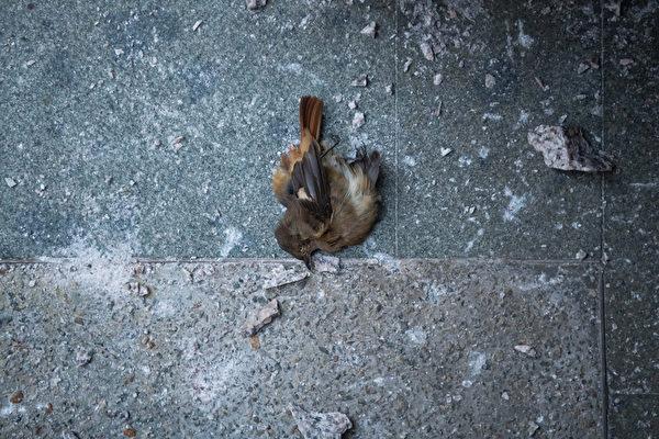 11月22日,在香港理工大學警方釋放催淚彈現場的一隻死亡鳥雀。(Billy H.C. Kwok/Getty Images)